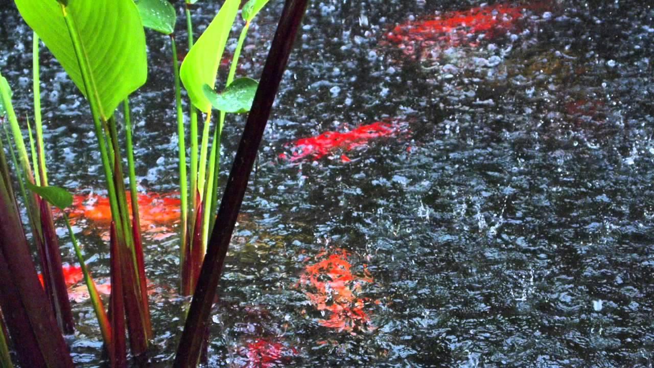 hujan kolam koi