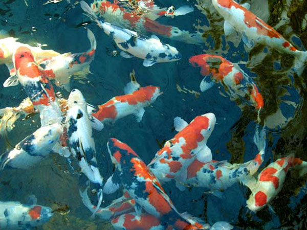 How many koi can i have in my pond, pond care