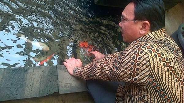 Ternyata AHOK, DJAROT dan ANIES adalah Penggemar Ikan Koi