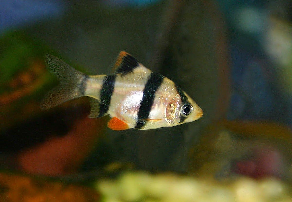 Benarkah Ikan Sumatera Sebagai Pembasmi Kutu Koi