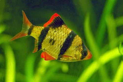Ikan Sumatera