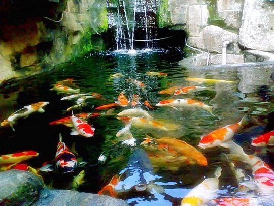 Mengapa Memelihara Ikan Koi?