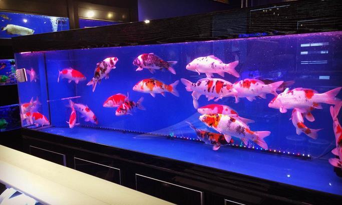 Koi di dalam aquarium
