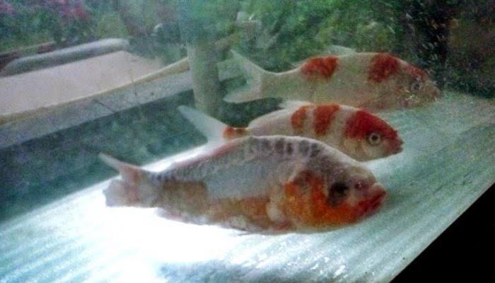 penyakit ikan koi