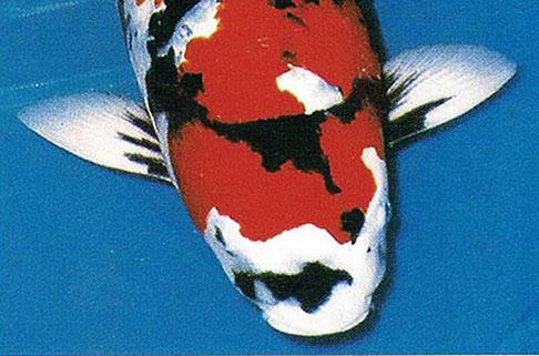 ikan Koi Showa letter V