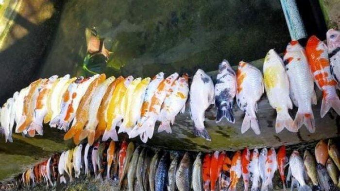 ikan mati