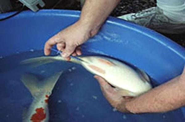 Antibiotik Ikan Koi